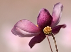 Herbst-Anemone...