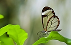 Glasschmetterling